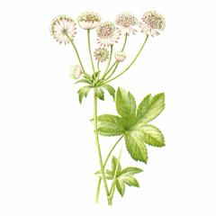 Астранция Большая / Astrantia Major